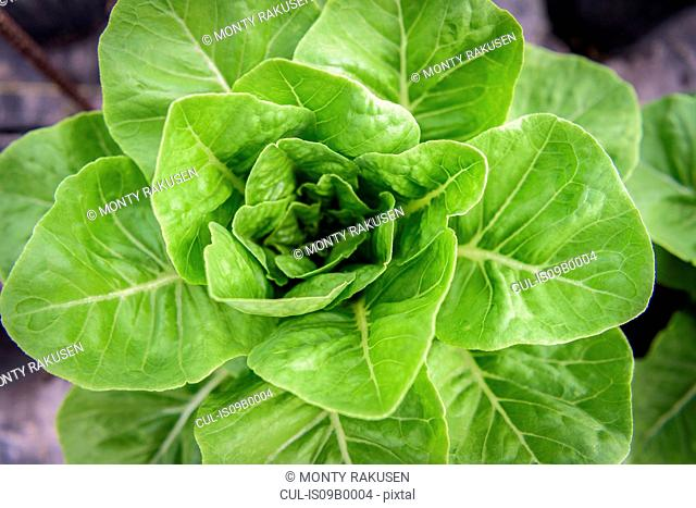 Detail of romaine lettuce in Hydroponic farm in Nevis, West Indies