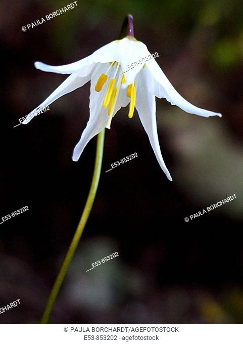 Avalanche Lily on Alta Vista Trail, Mt. Rainier National Park, Washington state, US