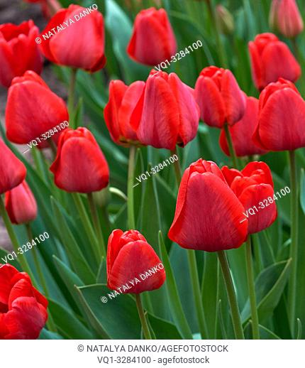 red blooming unblown tulips with green leaves and stems, day