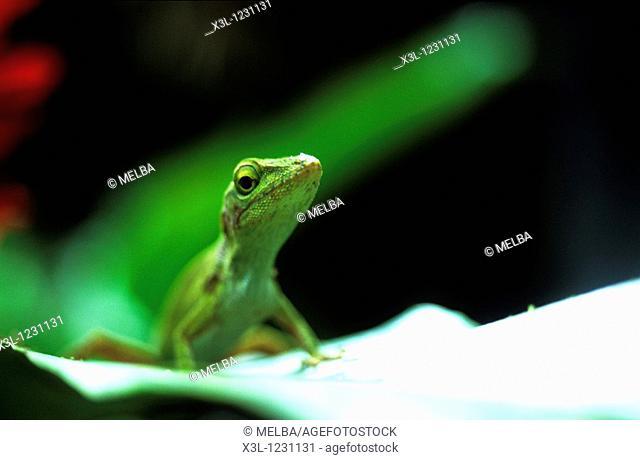 Lizard reptile Costa Rica