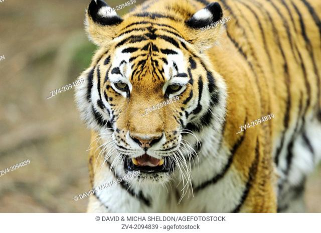 Portrait of a Siberian tiger or Amur tiger (Panthera tigris altaica)