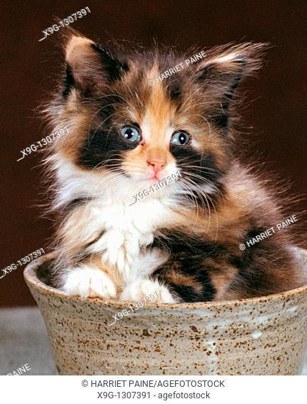 Kitten in a bowl