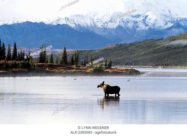 A cow moose stands in Wonder Lake in front of McKinley with colorful fall foliage, Fall, Denali National Park, Interior Alaska, USA