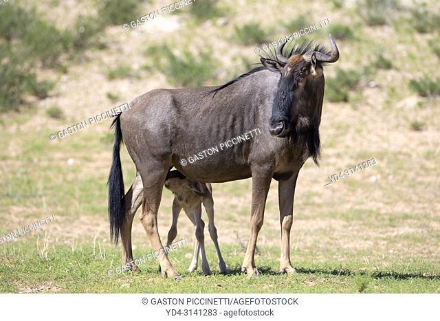 Blue wildebeest (Connochaetes taurinus) - Mother and lamb, Kgalagadi Transfrontier Park, Kalahari desert, South Africa/Botswana