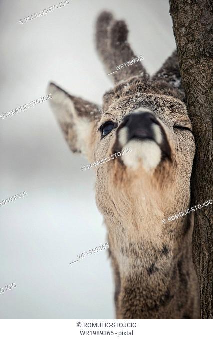 Roe deer rubbing tree, close-up