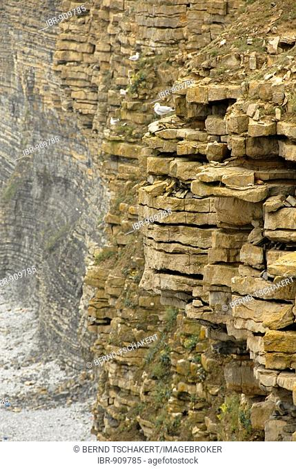 Steep coast and cliffs with gulls, Nash Point, Glamorgan Heritage Coast, Wales, Great Britain, Europe