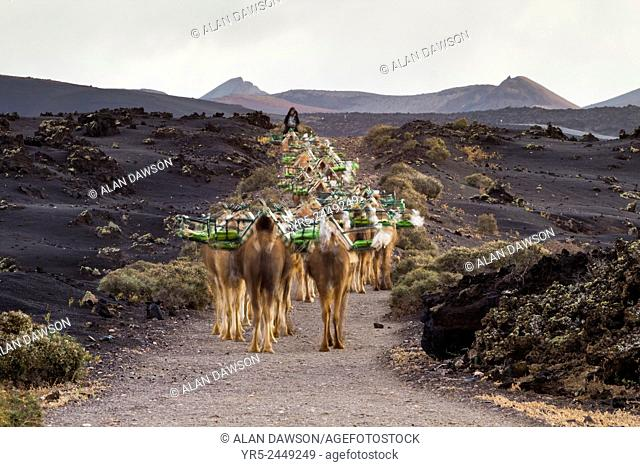 Over 100 Camels, which take tourists on rides through the volcanic landscape, make the daily 6km pre dawn trek into Timanfaya National Park from nearby Yaiza...