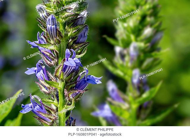Great blue lobelia / great lobelia (Lobelia siphilitica) in flower, native to eastern and central Canada and United States