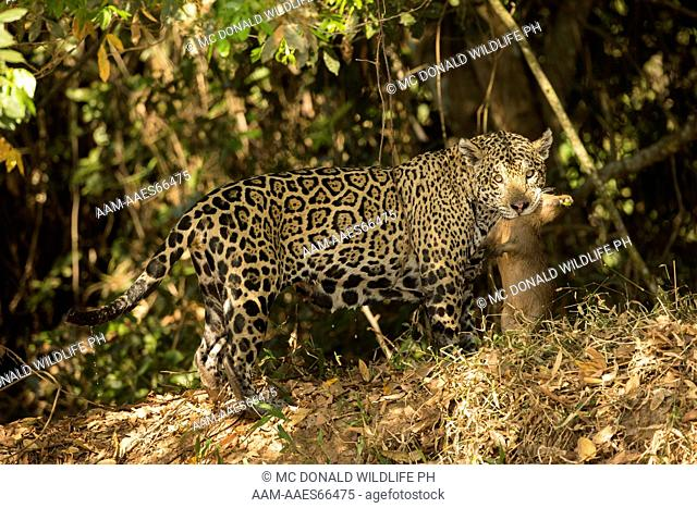 Jaguar, Panthera onca, carrying a Capybara killed just seconds earlier in the river, Pantanal, Brazil, South America