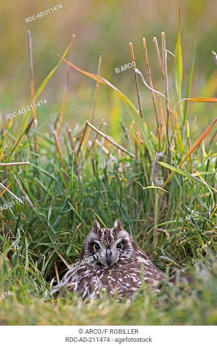 Short-eared Owl on nest, Finland, Asio flammeus