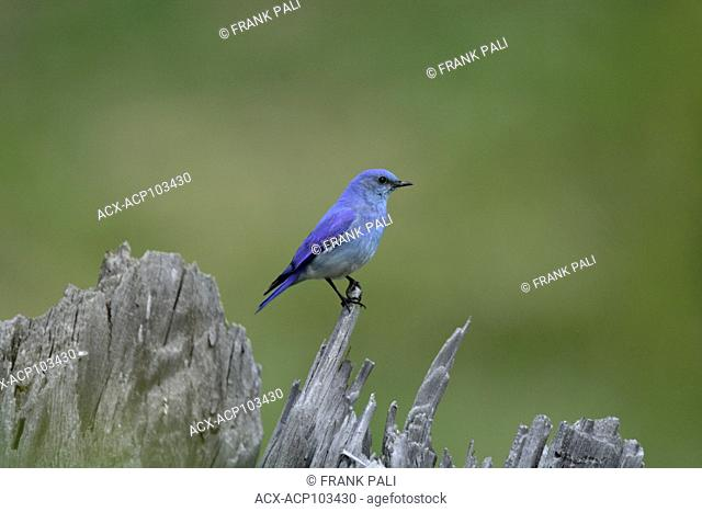 The powder-blue male and Female Mountain Bluebird ( Sialia currucoides ).Hayden Valley,Yellowstone National Park USA