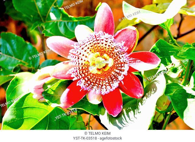 Passion fruit flower, flower, beauty, blossom, passiflora, fruit, tropical, Brazil