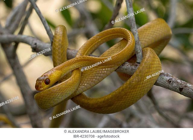 Snake (Stenophis variabilis) in a tree, Isalo National Park, Madagascar