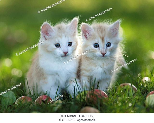 Norwegian Forest Cat Two kittens in grass next to fallen apples Germany