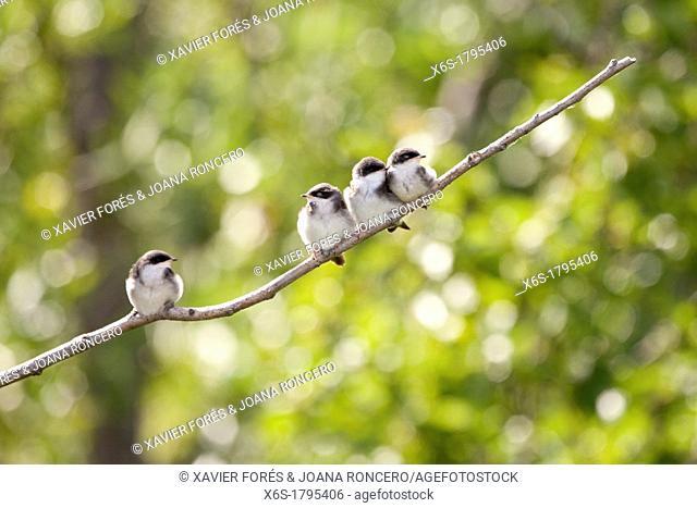 Tree Swallow - Tachycineta bicolor -, Potter Marsh, Anchorage coastal wildlife refuge, Anchorage, Alaska, U S A