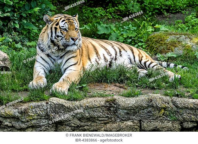 Amur Tiger (Panthera tigris altaica) is lying on the ground, captive, Leipzig, Saxony, Germany