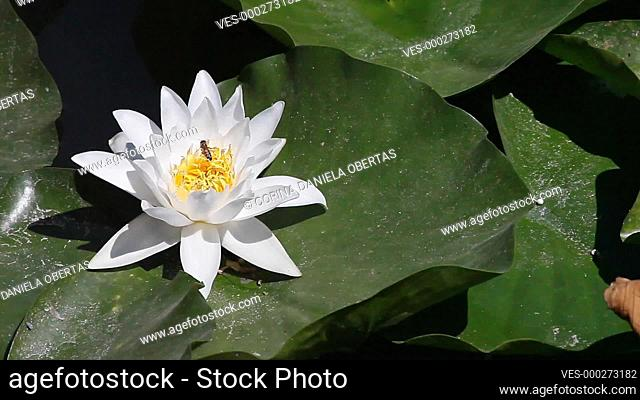 European white water lily (Nymphaea alba), close-up in a natural environment on a lake in Neptun, Romania