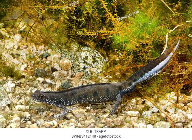 warty newt, crested newt, European crested newt (Triturus cristatus), male with low crest, under water photography, Romania, Moldau, Iași