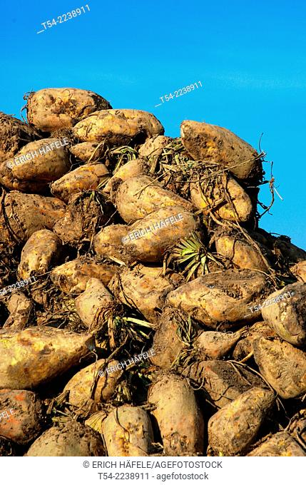 Harvested sugar beets are off the field