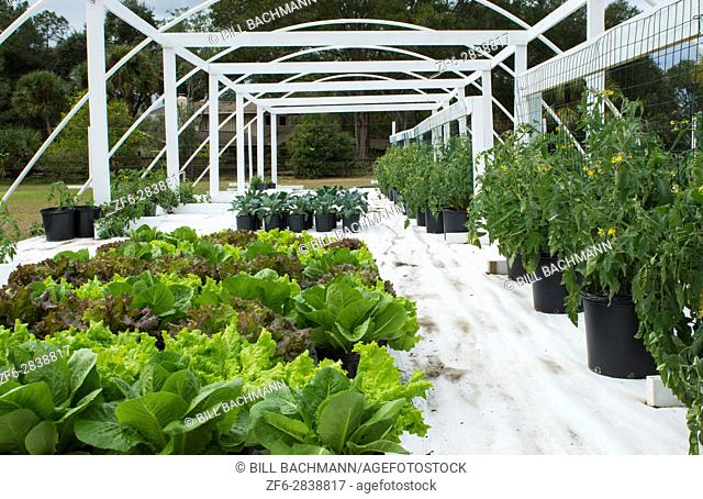 Central Florida organic home garden with plants and vegetables in backyard for healthy diet and eating farm coop