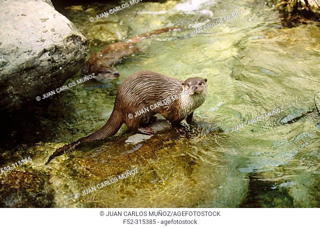 Eurasian River Otter (Lutra lutra)