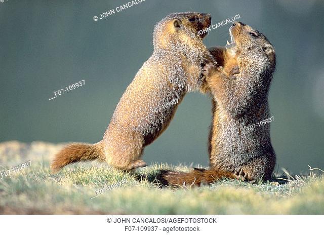 Yellow-bellied Marmots (Marmota flaviventris). Colorado. USA