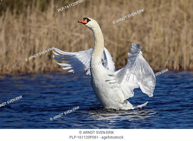 Mute swan (Cygnus olor) male swimming in lake and flapping its wings in spring