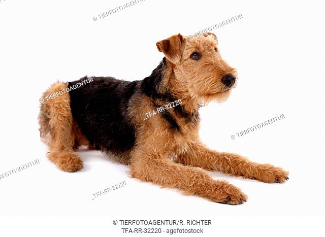 lying Airedale Terrier