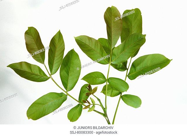 DEU, 2007: English Walnut, Persian Walnut (Juglans regia), twig foliage, studio picture