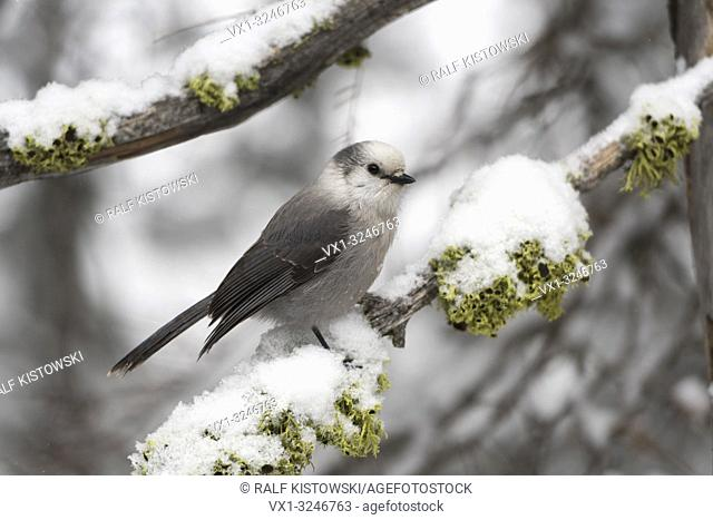 Grey jay / Meisenhaeher ( Perisoreus canadensis ) in winter, perching on a snow covered branch, Yellowstone NP, Montana, USA