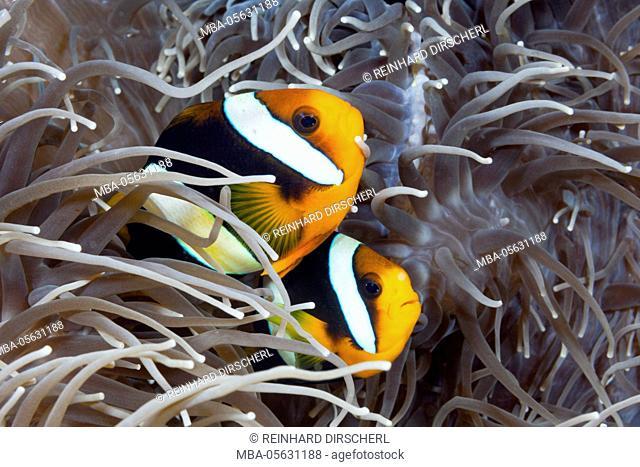 Couple Clarks anemone fish, Amphiprion clarkii, Florida Islands, the Solomon Islands