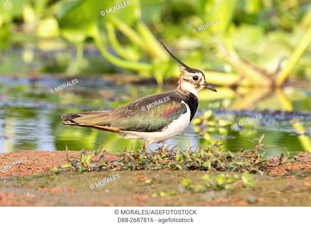 South east Asia, India,Assam state,Brahmapoutra,. Northern Lapwing (Vanellus vanellus)