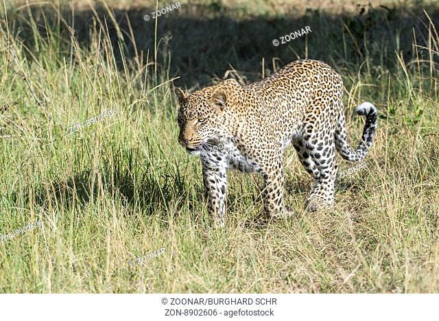 leopard,Panthera pardus