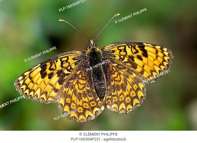 Glanville fritillary (Melitaea cinxia) butterfly