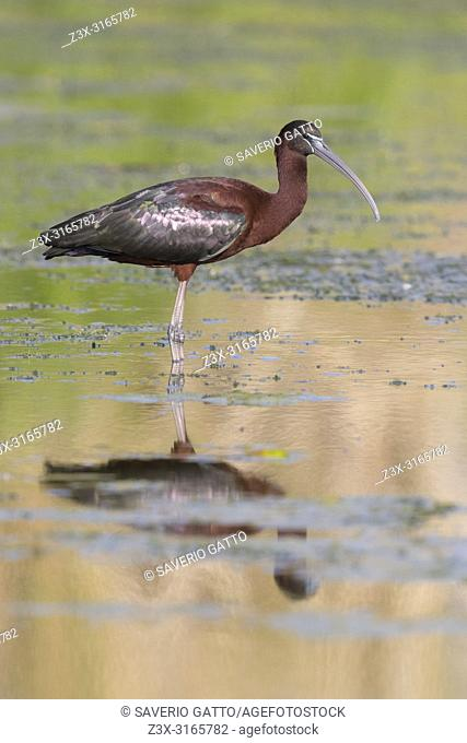 Glossy Ibis (Plegadis falcinellus), adult standing in the water at sunset