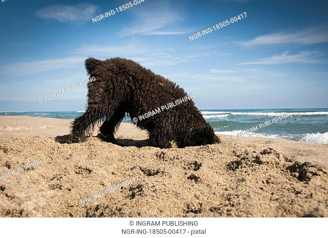 Bouvier Des Fandres puppy digging on the beach