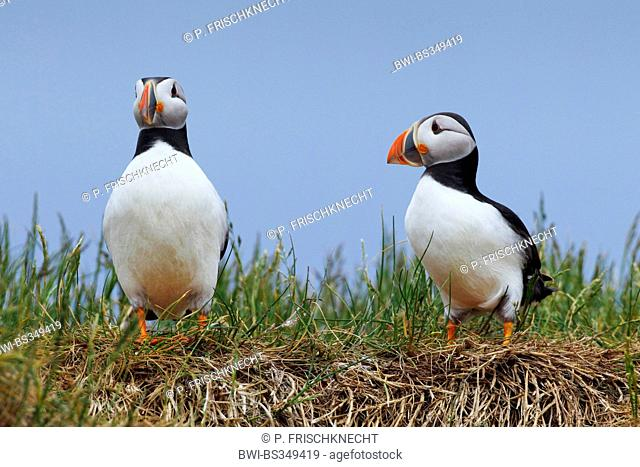Atlantic puffin, Common puffin (Fratercula arctica), two adult birds sitting on tossocks, United Kingdom, England, Farne Islands, Staple Island