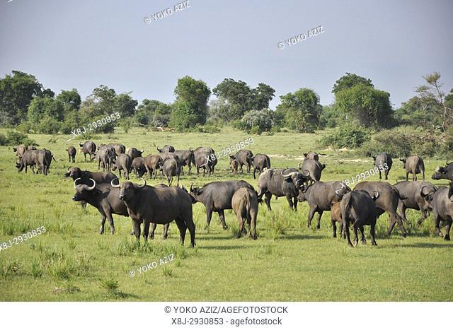 Uganda, Buffalo