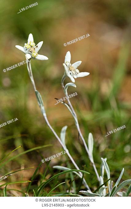 Edelweiss (Leontopodium alpinum) white flower, Spain