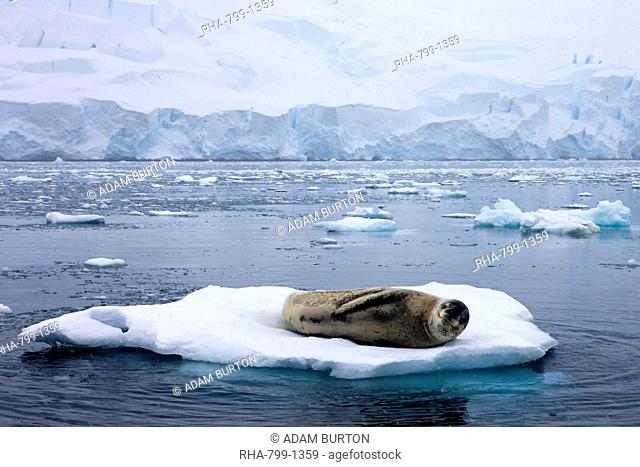 Leopard seal resting on an ice flow in the Antarctic, Polar Regions