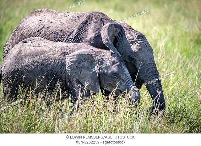 African bush elephants (Loxodonta africana), aka African savanna elephants walk together through the grass in Maasai Mara National Reserve , Kenya