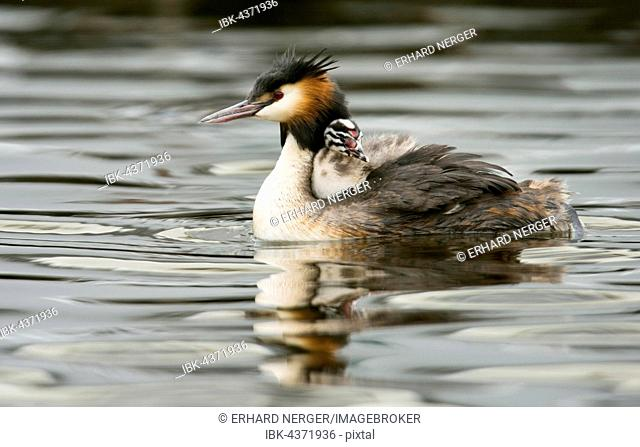 Great crested grebe (Podiceps cristatus) in water with chick sitting in plumage, Emsland, Lower Saxony, Germany