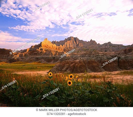 Wild FLowers at Sunrise Badlands National Park South Dakota USA
