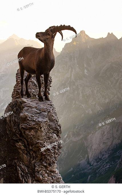 Alpine ibex (Capra ibex, Capra ibex ibex), stands on a tor in morning light, Switzerland, Alpstein, Altmann