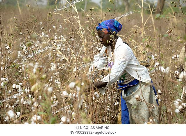 Work in the cotton fields of Cote D'Ivoire, (Ivory Coast)