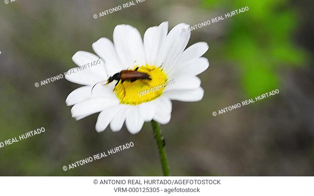 Insect on a flower. Cuenca mountain range natural park. Cuenca province. Spain