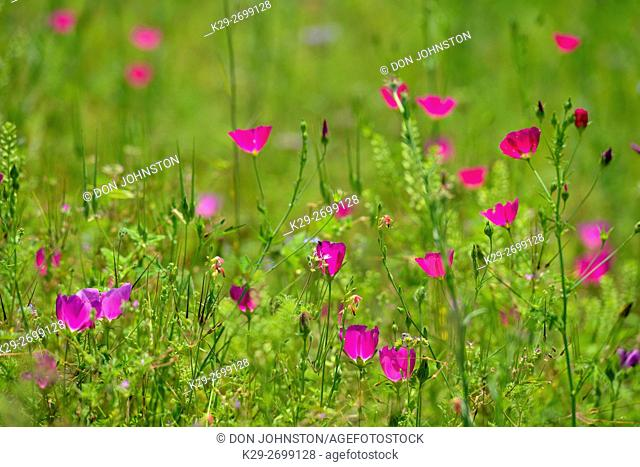 Roadside wildflowers featuring Winecup (Callirhoe sp. ), Mason County, Texas, USA