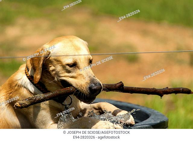 A labrador dog standing in a tub of water with a stick in its mouth