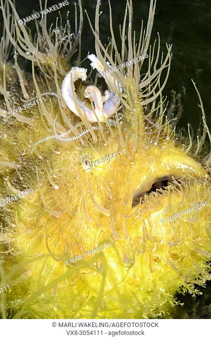 Hairy frogfish, Antennarius striatus, with its worm like esca or lure, Lembeh Strait, North Sulawesi, Indonesia, Pacific