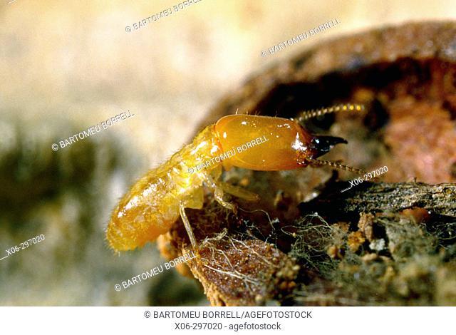 Termite (Reticulitermes lucifugus) Soldier